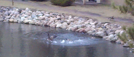 geese fight!