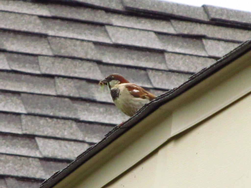 Swallow on the roof